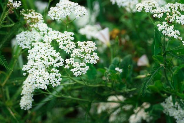 Выстрел из белых полевых цветов тысячелистника и зеленых листьев на зеленом фоне