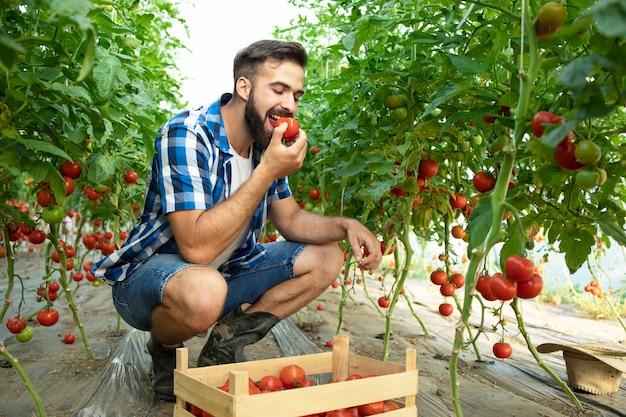 トマト野菜を味わい、温室で有機食品の品質をチェックする若いひげを生やした農家のショット
