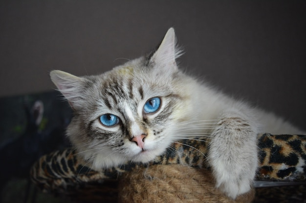 A shot of a portrait photograph of a seal point cat with blue eyes.