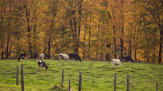 Shot of a ranch with kettle grazing the grass behind a fence