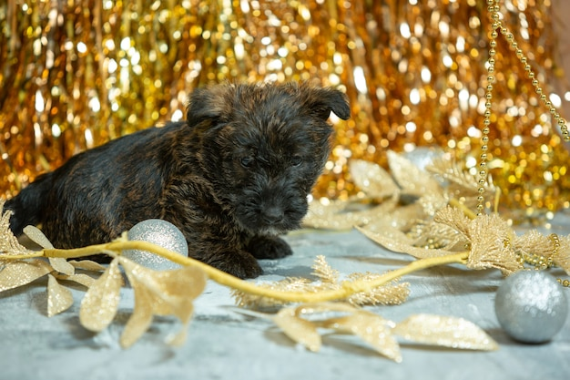 Shot of scottish terrier puppies on golden colored  wall