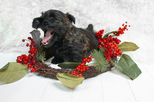 Shot of scottish terrier puppy on white  wall