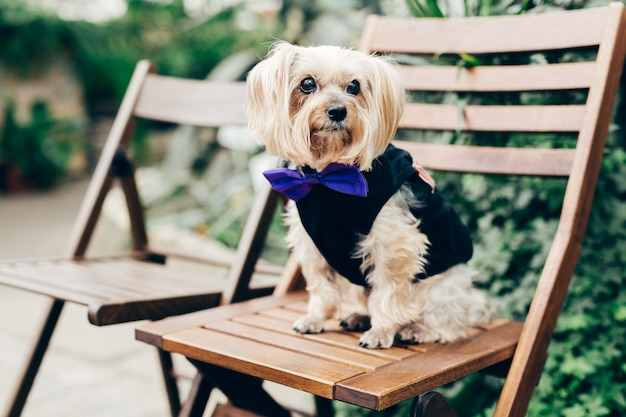Shot of small pedigree dog with long fur, wears blue festive tie bow