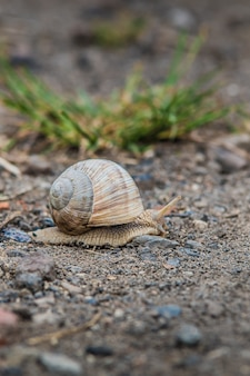 Shot of snail  with a big shell on the rocky ground
