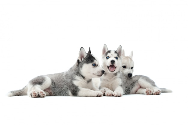Shot of a three adorable siberian husky puppies lying together isolated on white.