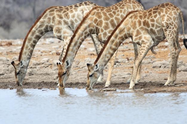 Colpo di tre giraffe che bevono tutti insieme in una pozza d'acqua