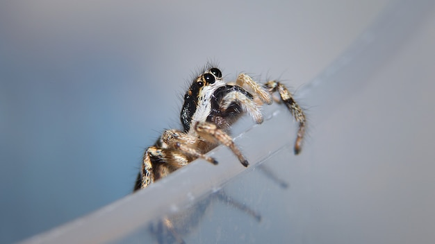 Shot of a zebra spider on a gray surface
