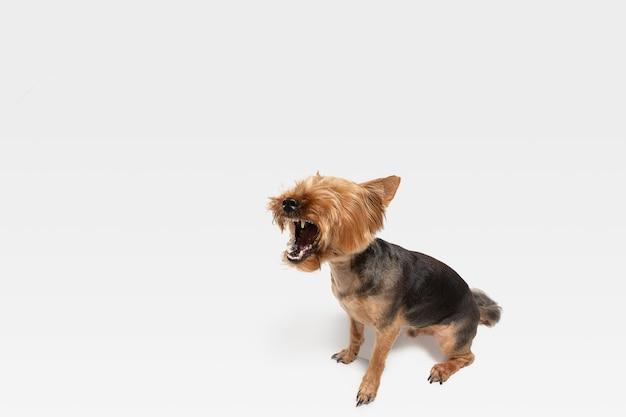 고함, 비명. 요크셔 테리어 강아지 포즈입니다. 귀여운 장난 갈색 검은 강아지 또는 애완 동물 흰색 스튜디오 배경에서 재생. 모션, 액션, 움직임, 애완 동물 사랑의 개념. 기뻐하고 재미있어 보입니다.