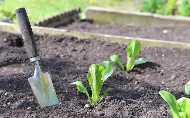 Shovel planting in the soil in garden next to seedling of lettuce growing