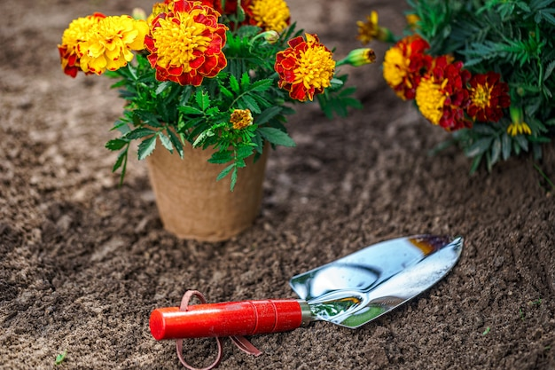 Shovel and pot with marigold flowers for planting in home garden.