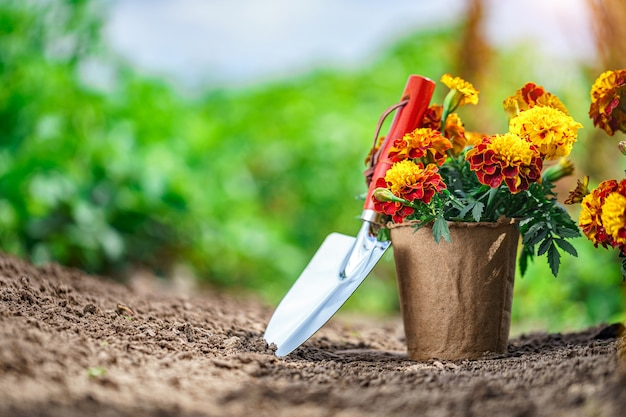 Shovel and pot with marigold flowers for planting in home garden