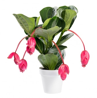 Showy pink medinilla magnifica plant in pot