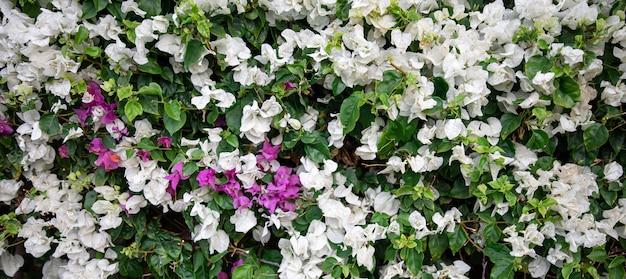 斑入りのハワイアンスノーブッシュ、breyniadistichaからの派手な白い葉