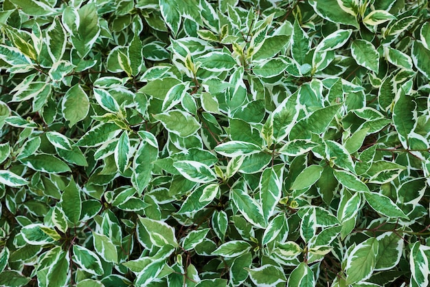 Shrub white siberica variegata, background, shallow depth of field