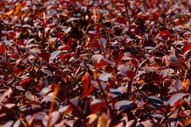 Кустарник с красноватыми листьями. скопируйте пространство. выборочный фокус.