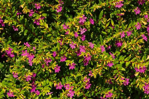 관상용 식물을위한 작은 녹색 잎과 보라색 꽃이있는 관목