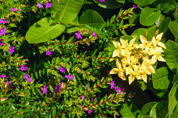 관상용 식물을 위한 작은 녹색 잎, 보라색 및 노란색 꽃이 있는 관목