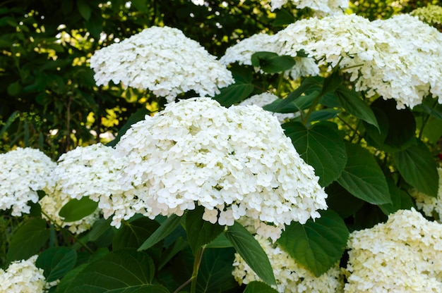 Shrub with white lush flowers - hydrangea. to park, garden.