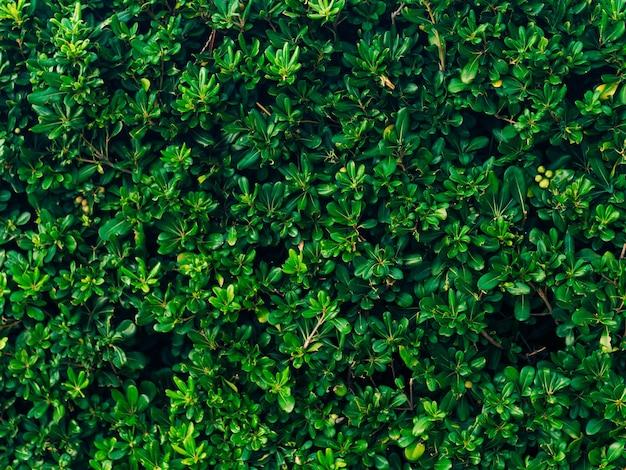 Кустарники и деревья питтоспорум в ландшафтном дизайне черногории