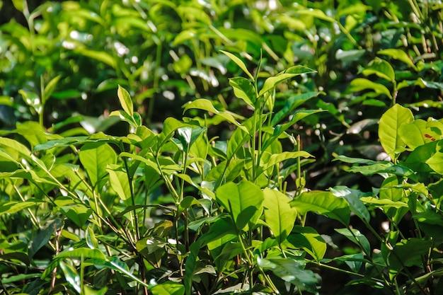 スリランカの茶畑の低木、クローズアップ。お茶を育てる。