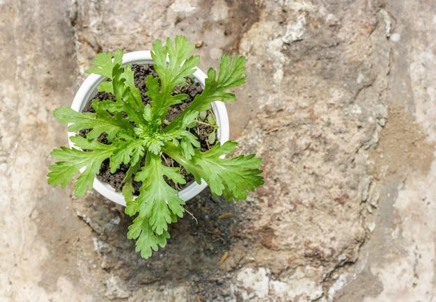 シュンギク、別名トングハオ、または食用菊、アジア料理で一般的に使用される葉のハーブ