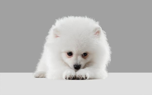 수줍고 귀여운 슬픈 스피츠 작은 강아지가 회색 스튜디오에서 놀고 있는 귀여운 장난꾸러기 흰색 강아지나 애완동물을 포즈를 취하고 있습니다