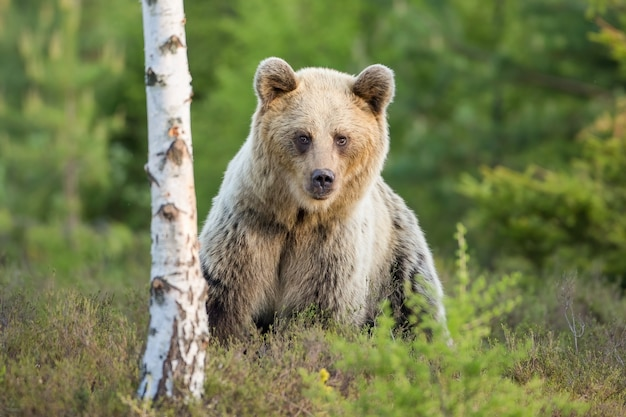 Shy brown bear female standing near to birch tree in moorland