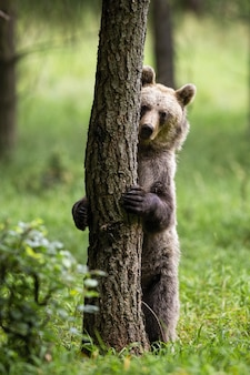 Shy brown bear hiding behind a tree in summer forest.