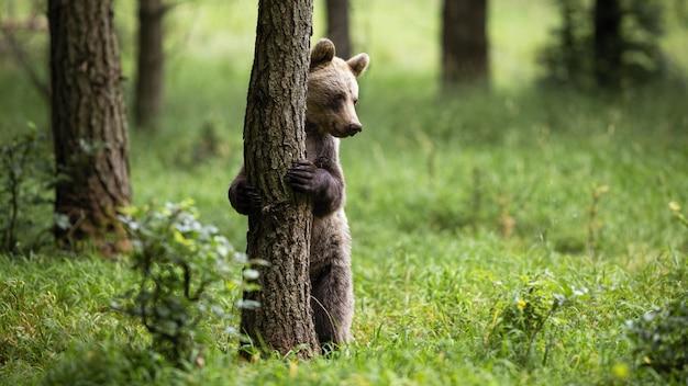 Застенчивый бурый медведь, ursus arctos, стоя в вертикальном положении на задних ногах в лесу. вид спереди милого млекопитающего держа дерево в природе с космосом экземпляра.