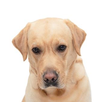 白で隔離される内気な犬