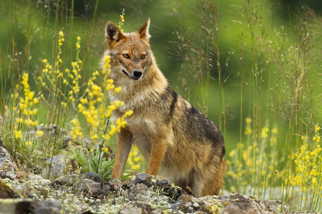 Shy golden jackal looking away