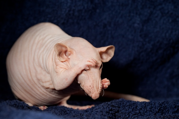 수줍은 털이 없는 쥐는 사진 찍기를 좋아하지 않으며 검은 아늑한 배경에서 손으로 얼굴을 가리고 있습니다