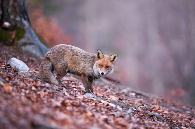 Shy red fox with her tail down wandering in the gloomy forest