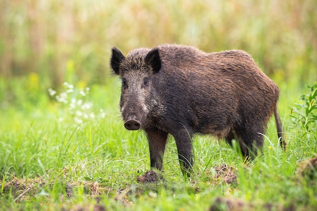 Shy wild boar looking to the camera on a green meadow in summer nature