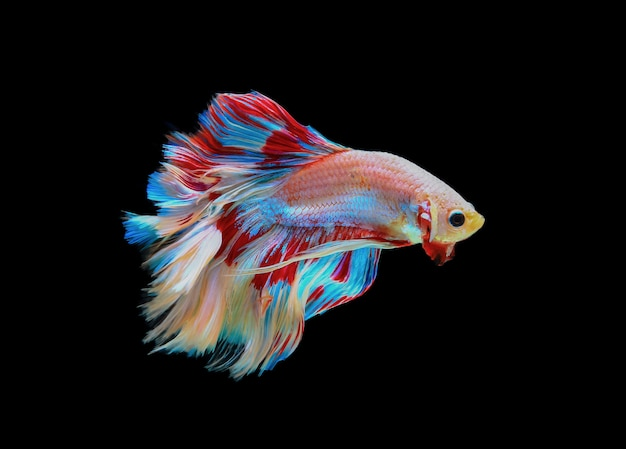 Siamese betta fighting isolated on black background.