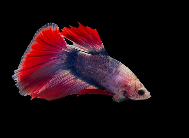 Siamese betta fighting isolated on black