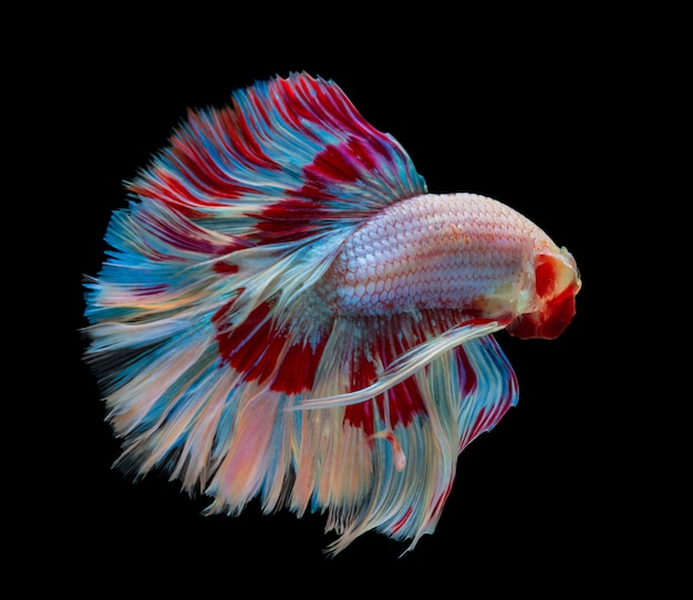 Siamese betta fighting with beautiful colors on black background