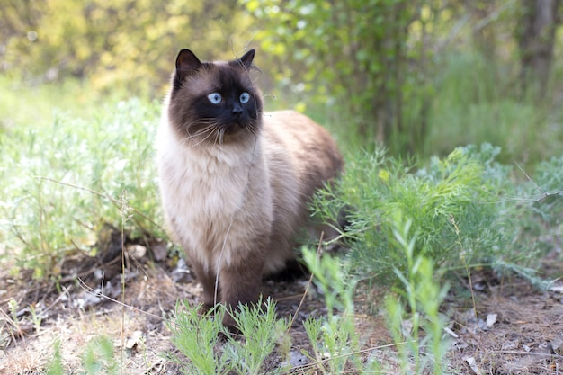 Siamese blue-eyed cat stands alone on grass in the park on sunny day