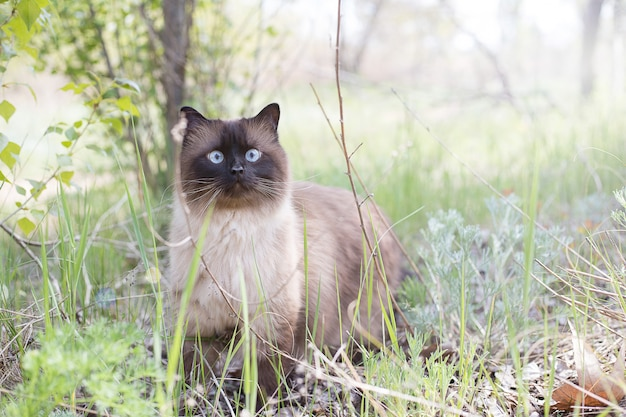 Siamese blue-eyed cat stands near a tree