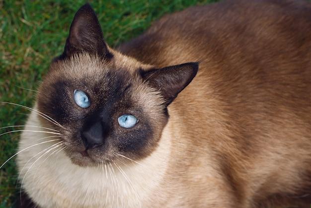 草の中に座っているシャム猫のクローズアップ