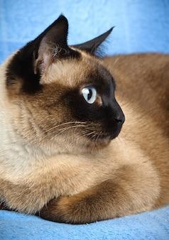 Siamese cat closeup