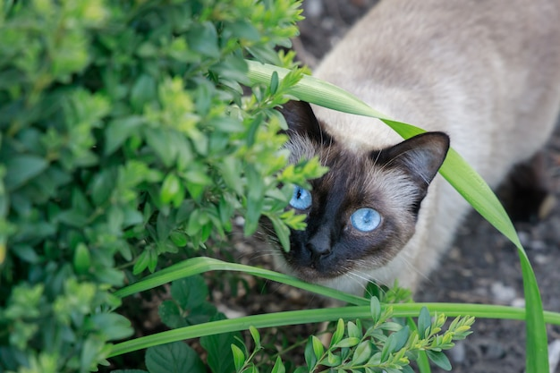 Siamese cat hunts from behind green bushes in the garden