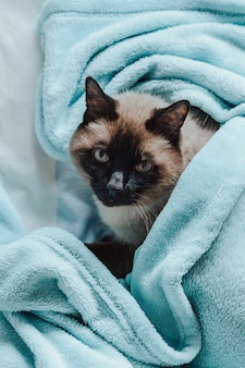 A siamese cat inside a blue blanket looking to camera with curiosity
