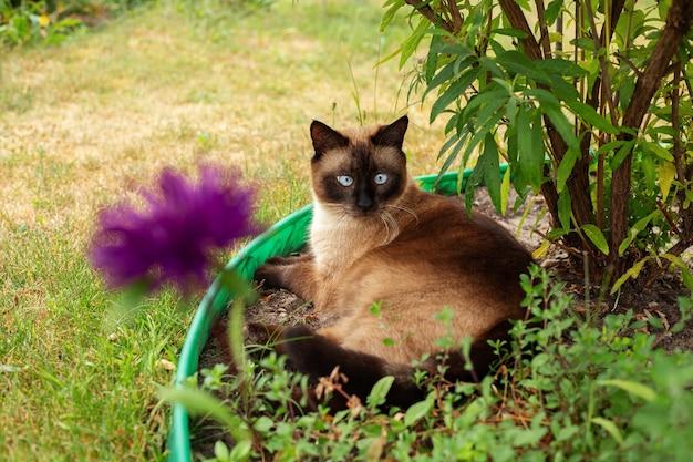 Сиамская кошка лежит в саду