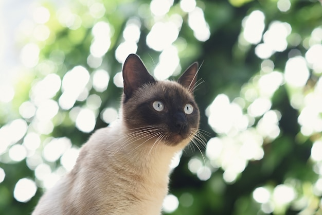 Siamese cat observes nature