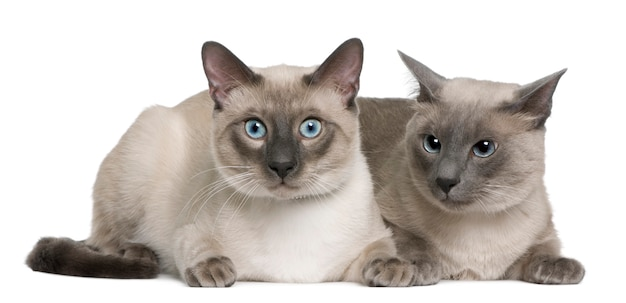 Siamese cat,    and   old, lying in front of white background