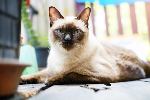 Siamese cat relax on wood floor with sunlight in natural of garden
