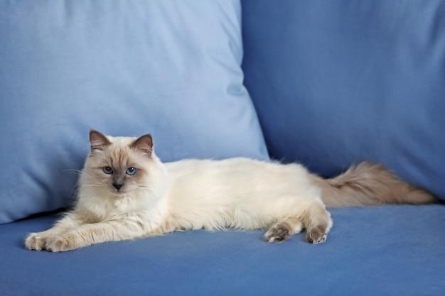 屋内で青いソファで休んでいるシャム猫