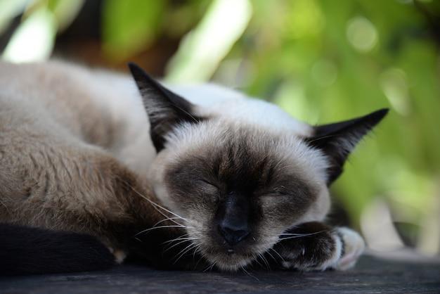 床に休んでシャム猫