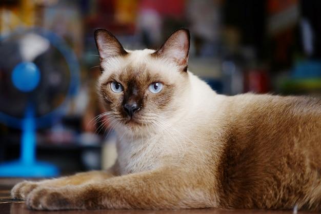 シャム猫の家に座って、木の床でリラックス